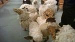 SchafeKirche